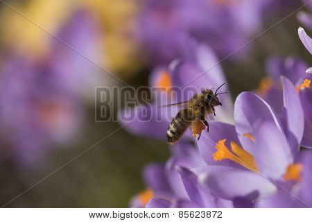 The Bee - Symbol Of The Spring