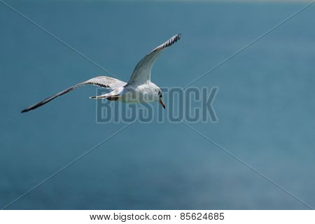 Seagull Flying Over The Sea, Looking Down