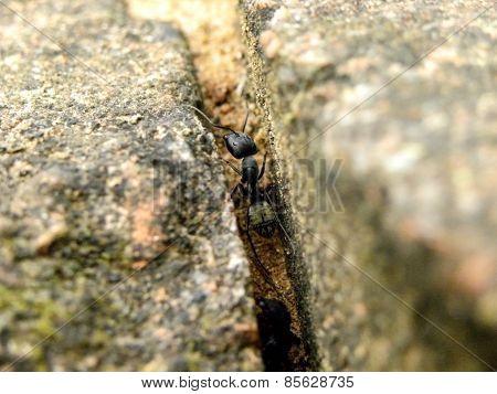 Carpenter Ant 3
