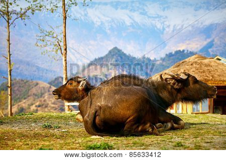 buffaloes in Nepal