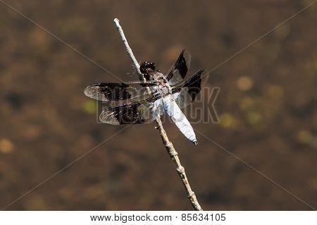 Black and White Skimmer