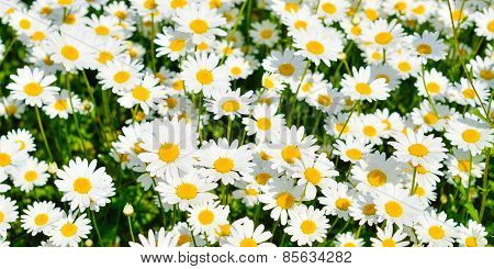Daisies On Green Background. Daisies Are Growing On A Meadow.