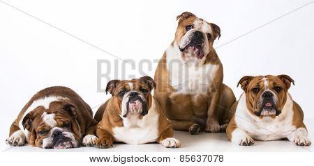 four english bulldogs together on white background
