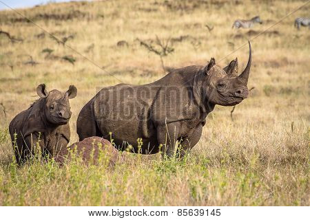 Black White Rhino Mum and Baby on look out