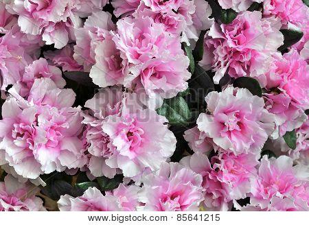Pink Azalea In Full Bloom.