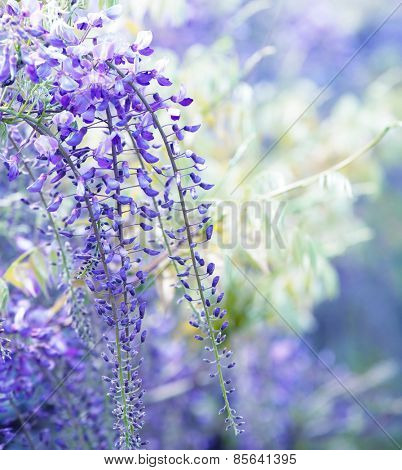 Beautiful flowers of fuji (Wisteria floribunda) vine, blooming in spring. Intentionally shot shallow depth of field and dreamy feel.