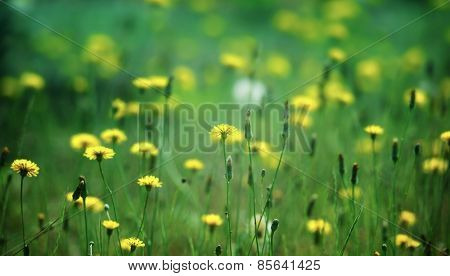 Dreamy green field of dandelions. Intentionally shot with impressional feel.