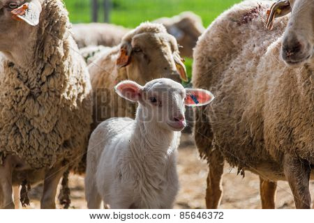 Lamb With The Flock
