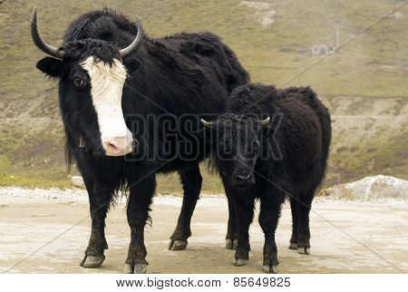 young yak with his mother