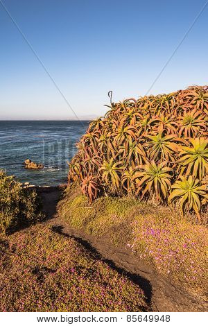 Succulents on the coast of Monterey, California