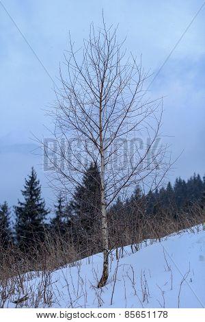 Hornbeam On Mountain Top