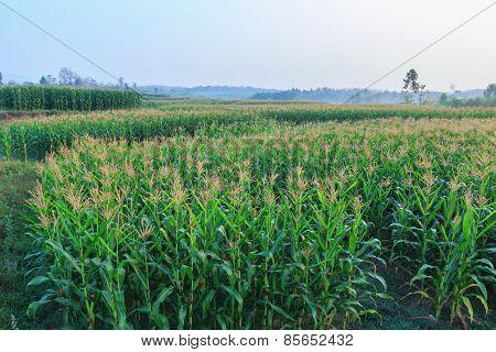 Agriculture Farm Corn Area