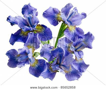 Bouquet Iris Flower Isolated On White Background