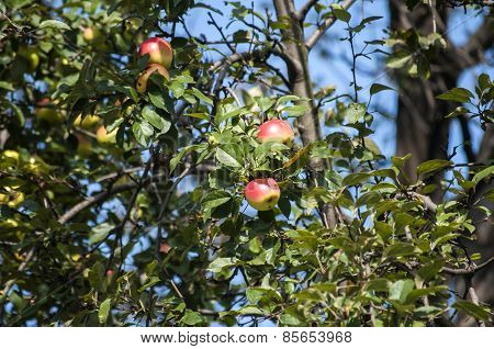 Organic apples on tree