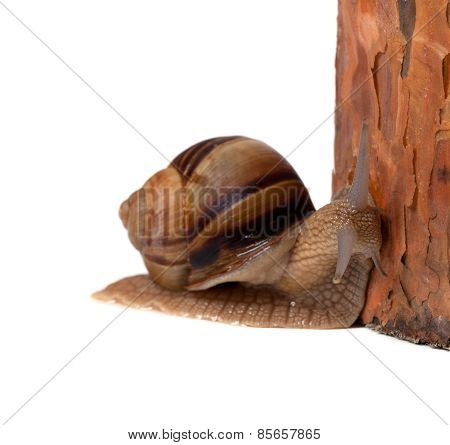Snail And Pine Tree