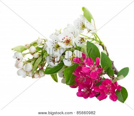 Blossoming Apple and cherry tree Flowers