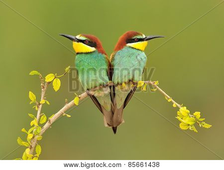 Tow Bee-eaters