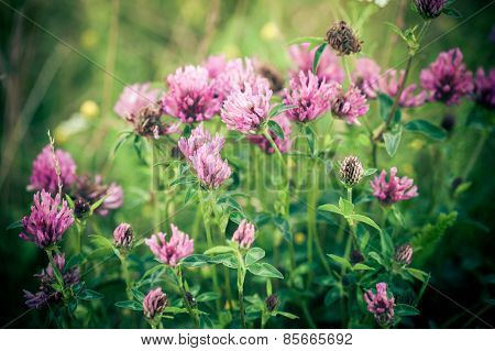 Clover Flowers (gomphrena) And Leaves On Green Meadow Background