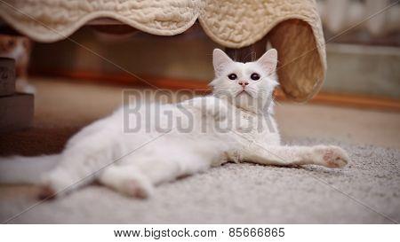 White Fluffy Cat Lies.