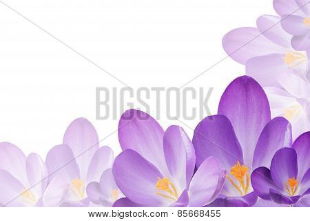 Purple Crocus Flowers On The White Background