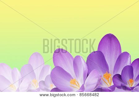 The Purple Crocus Flowers On The Spring Background