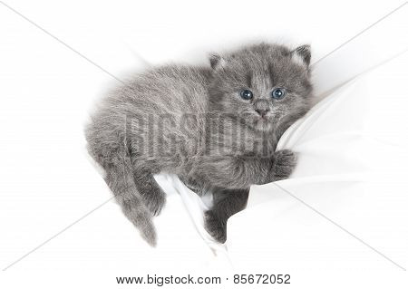 Adorable Grey Kitten In White Sheets
