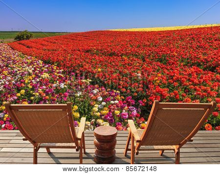 Two chaise lounges for rest stand on a scaffold at a picturesque flower field.  The spring blossoming buttercups  grow multi-colored strips