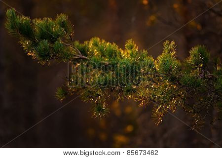 Spruce Tree Twig During Sunset With Warm Golden Colors