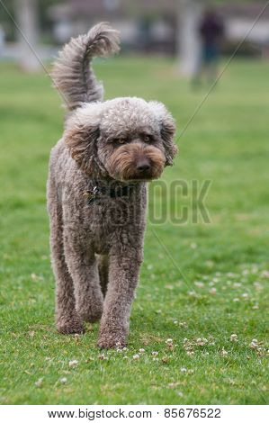 Standard Poodle walking at park