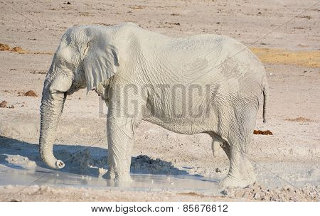 Elephants covered in white mud