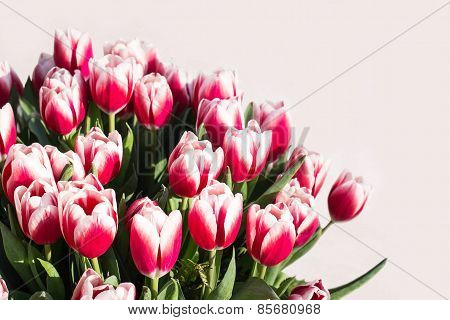 Red And White Tulips On A Light Background