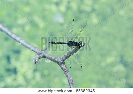 Black Dragon Fly