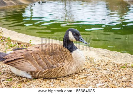 Goose Sitting And Resting Near A Small Lake
