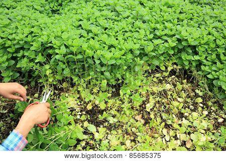 mint plant grown at vegetable garden