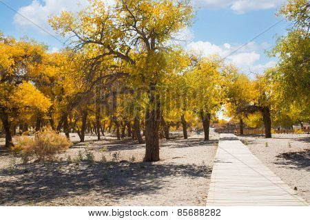 Poplar Trees In Autumn Season, Ejina, Inner Mongolia, China