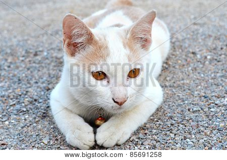 White Thai Cat Sitting On The Gravel