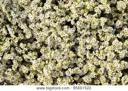 Overhead View Of Pretty White Limonium Flowers