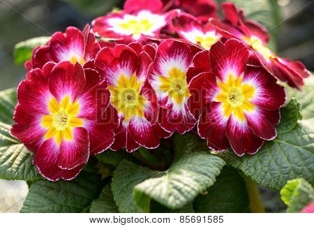 Colorful Variegated Red And Yellow Primroses