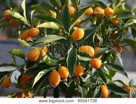 Fresh Tangerines Growing On A Tree