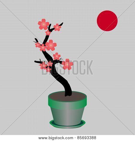 Blooming sakura in a flower pot.