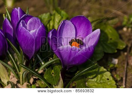 blue crocus and bee