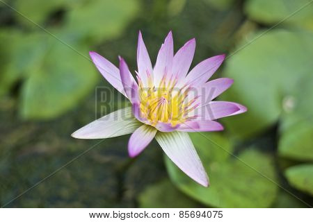 pink lotus flower with blur background