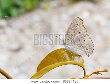 Close Up Of Gray Pansy Or Grey Pansy (junonia Atlites) Butterfly
