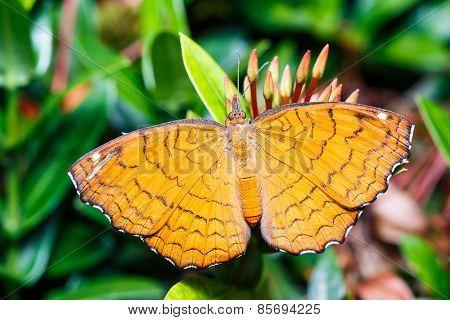 Angled Castor  Butterfly