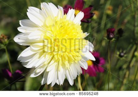 Dahlia Flower Over Blurry Background