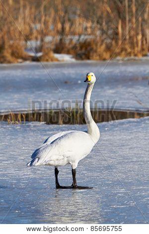 Swan Standing On Ice