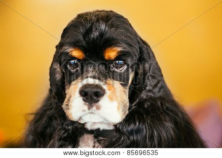 American Cocker Spaniel Dog Close Up Portrait