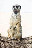 stock photo of meerkats  - A lone meerkat close up fur body perch - JPG