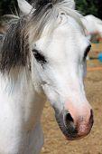 Portrait of a white pony