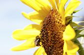 stock photo of bumble bee  - Bumble bee on a sunflower  - JPG
